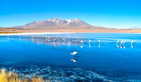 Flamingo- Eduardo Avaroa Andean Fauna National Reserve, Bolivia. Flamingos and their reflections in the water at the colourful Laguna Celeste Royalty Free Stock Photography