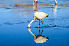 Flamingo- Eduardo Avaroa Andean Fauna National Reserve, Bolivia. Flamingos and their reflections in the water at the colourful Laguna Celeste Royalty Free Stock Photos