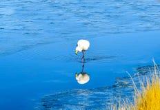 Flamingo- Eduardo Avaroa Andean Fauna National Reserve, Bolivia. Flamingo and the reflection in the water at the colourful Laguna Celeste Stock Photo