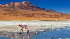 Flamingo in een meer Stock Foto's
