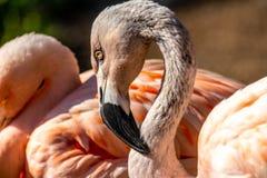 Flamingo in einer Gruppe lizenzfreies stockfoto