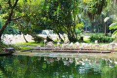Flamingo eller flamingo är en typ av den vadande fågeln i familjen Arkivfoto