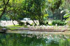 Flamingo eller flamingo är en typ av den vadande fågeln i familjen Royaltyfri Bild