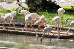 Flamingo eller flamingo är en typ av den vadande fågeln i familjen Fotografering för Bildbyråer
