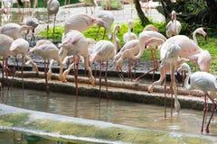 Flamingo eller flamingo är en typ av den vadande fågeln i familjen Arkivbilder