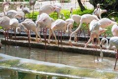 Flamingo eller flamingo är en typ av den vadande fågeln i familjen Arkivfoton