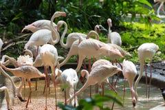 Flamingo eller flamingo är en typ av den vadande fågeln i familjen Arkivbild