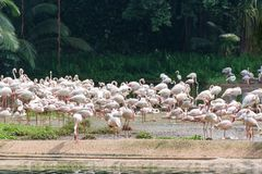Flamingo eller flamingo är en typ av den vadande fågeln i familjen Royaltyfria Foton