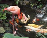Flamingo en koi Royalty-vrije Stock Afbeelding