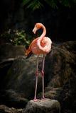Flamingo ereto Imagem de Stock Royalty Free