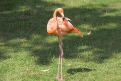 Flamingo, estando no sol da noite, phoenicopterus Imagem de Stock