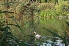 Flamingo on Europe royalty free stock image