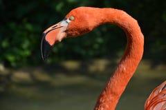 Flamingo fågel, djur, fjädrar som är tropiska Arkivbilder