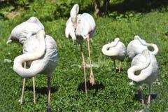 Flamingo för många fåglar som sover på konstig formfärgabstraktion Royaltyfri Bild