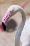 Flamingo face. Closeup of a flamingo face Stock Photos