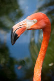 Flamingo face Royalty Free Stock Photography