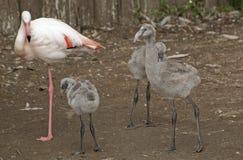 Flamingo family Royalty Free Stock Photos