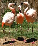 flamingo family Stock Image