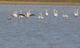 Flamingo family. Enjoy in water of lake. this photo click at menar, rajasthan, India. god has provided them beauty with color stock images