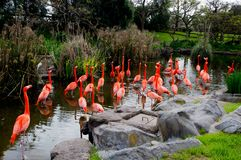 Flamingo family by the lake royalty free stock photography
