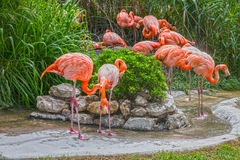 Flamingo family in Lisbon zoo, Portugal. Flamingo family in Lisbon zoo in Portugal Stock Photography