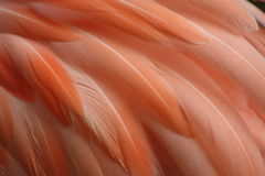 Flamingo feather Stock Photography