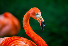 Flamingo with a feather Royalty Free Stock Photo