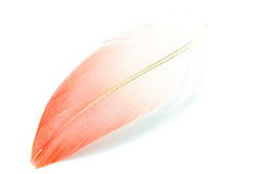 Flamingo feather isolated Stock Image