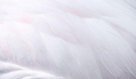 Flamingo feather Royalty Free Stock Photos