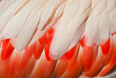 Flamingo Feathers Royalty Free Stock Photo