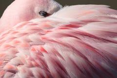 Free Flamingo Feathers Royalty Free Stock Image - 2926626