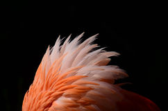 Flamingo feathers. Fluffy orange and peach colored flamingo feathers royalty free stock photography