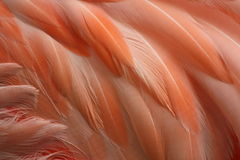 Flamingo feathers Stock Image