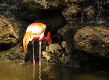 Flamingo feeding Royalty Free Stock Image