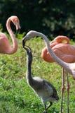 Flamingo feeding its chick Stock Image