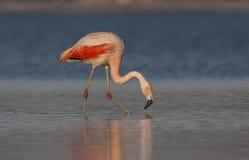 Flamingo. Feeding in a lake Royalty Free Stock Image