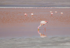 Flamingo feeding at a lake Royalty Free Stock Photo
