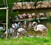 Flamingo. Feeding in nature.Wild animals before camera Stock Photos