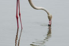 Flamingo feeding in a pond - legs, neck and head Stock Photography