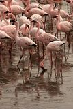 Flamingo feeding Stock Photography