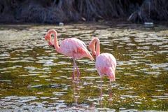 Flamingo feeding in a small lagoon in Galapagos Stock Photo