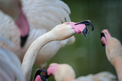 Flamingo fight with beaks Royalty Free Stock Photo