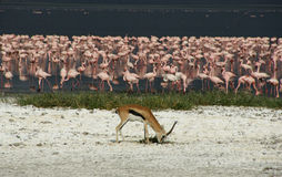 Flamingo filled Lake Nakuru with antilope grazing Stock Image