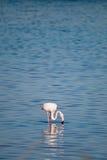 Flamingo. Flamenco in the marshes of Huelva, Spain Stock Photo