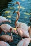 Flamingo. Flamenco, rare bird found in various parts of the world including Cuba Keys, photo taken in Cayo Coco Cuba Stock Photo