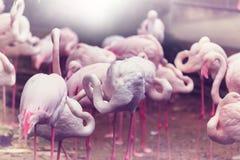 Flamingo. In Peru royalty free stock image