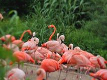 Flamingo. The Flamingos on the beach Stock Photo