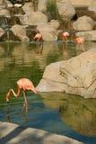 Flamingo. S at the zoo Tunisia Royalty Free Stock Photography