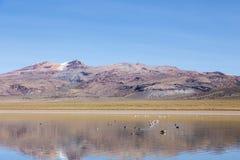 A flamingo flies over Huayñacota lagoon. Bolivia. Royalty Free Stock Images