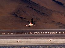 Flamingo in flight Stock Images